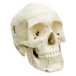 Schedel 4-delig - standaard/anatomisch model